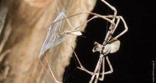 araignée australie Deinopis