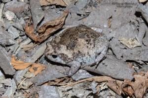 amphibien-Kaloula baleata