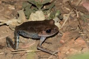 amphibien-Leptobrachium hasseltii