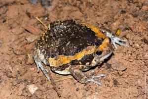 grenouille-Kaloula pulchra