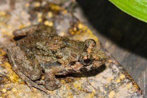 grenouille-Limnonectes poilani