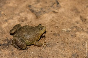 grenouille-Occidozyga lima