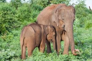 mammifère-Elephas maximus