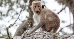mammifère-Macaca sinica