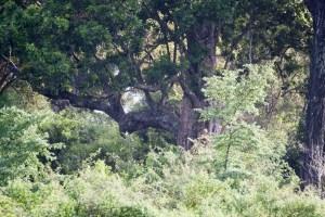 mammifère-Panthera pardus kotiya