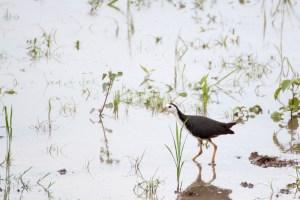 oiseau-Amaurornis phoenicurus
