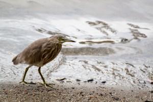 oiseau-Ardeola grayii