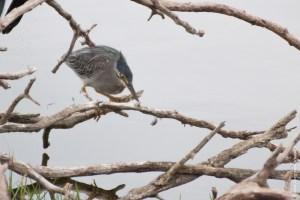 oiseau-Butorides striata