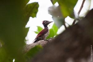 oiseau-Dinopium psarodes