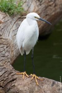 oiseau-Egretta garzetta