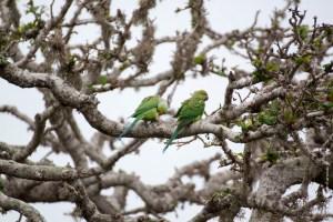 oiseau-Psittacula krameri