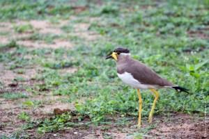 oiseau-Vanellus malarbaricus