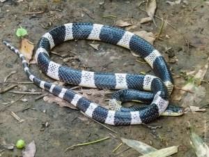 reptile-Bungarus candidus