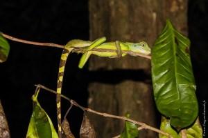 reptile-Physignathus cocincinus
