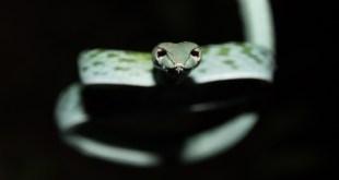 serpent-Ahaetulla prasina