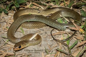 serpent-Ptyas korros