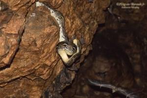 serpent-Python reticulatus