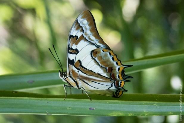 papillon australie