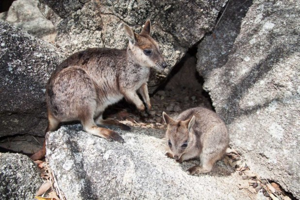 australie kangourou mammifere