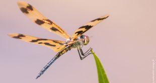 libellule australie