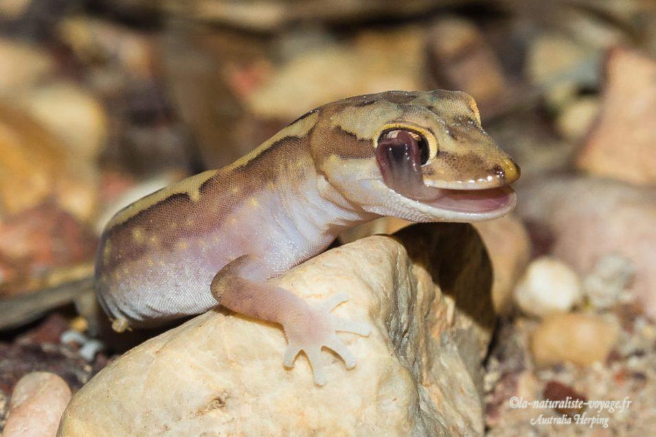 gecko Australie
