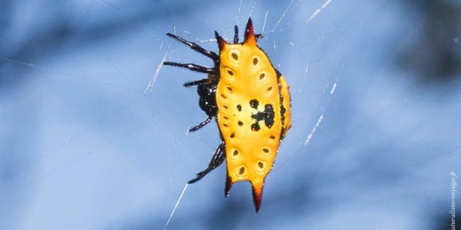 araignée australie Araneidae