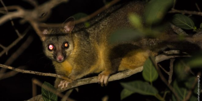 mammifère australie opossum