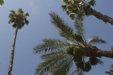 Marrakech palmtrees