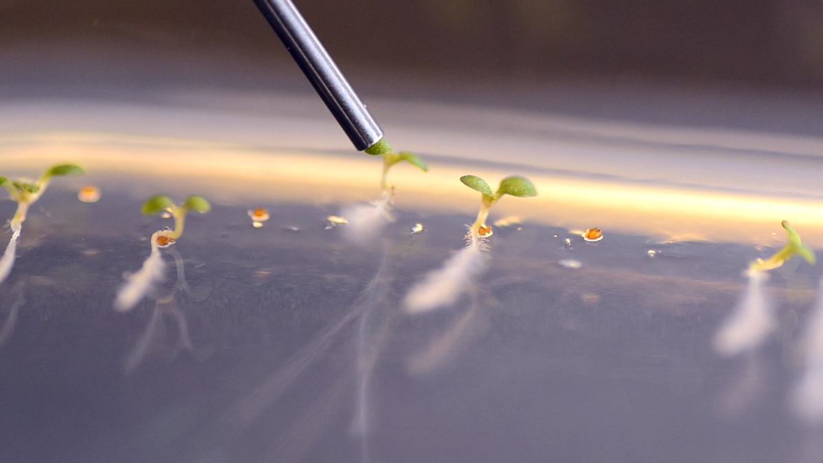 Arabidopsis seedling