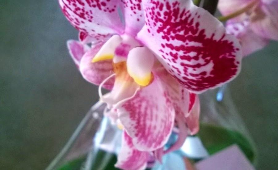 orchidea ritorno a casa