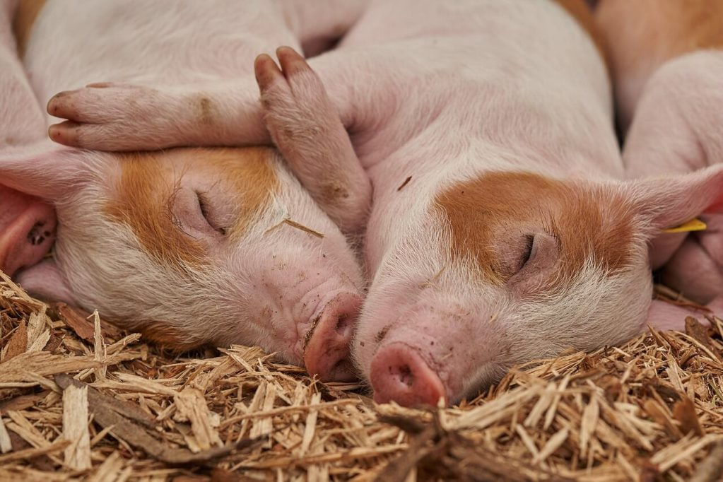 two cute piglets rest and sleep while hugging each other laying down on the hay.