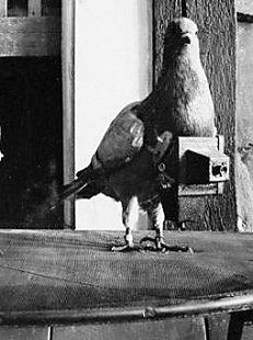 pigeon camera photographie aerienne 04 Des pigeons photographes pour la reconnaissance aérienne
