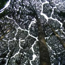 La timidité des arbres