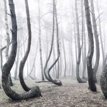 Une forêt d'arbres crochus en Pologne