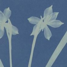 Les herbiers en cyanotypes d'Anna Atkins