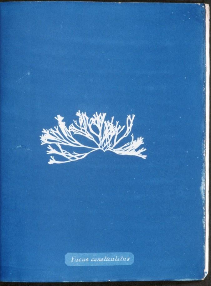 cyanotype-anna-atkins-algue-a08