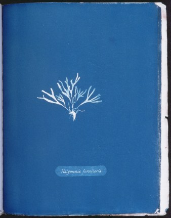 cyanotype-anna-atkins-algue-a10