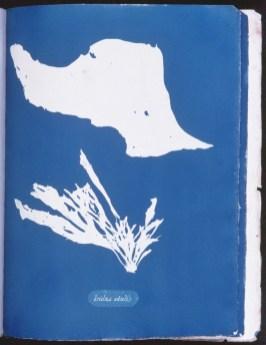cyanotype-anna-atkins-algue-a11