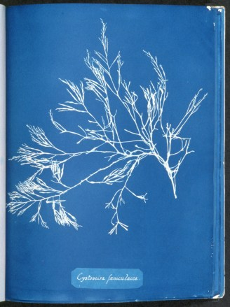 cyanotype-anna-atkins-algue-a12
