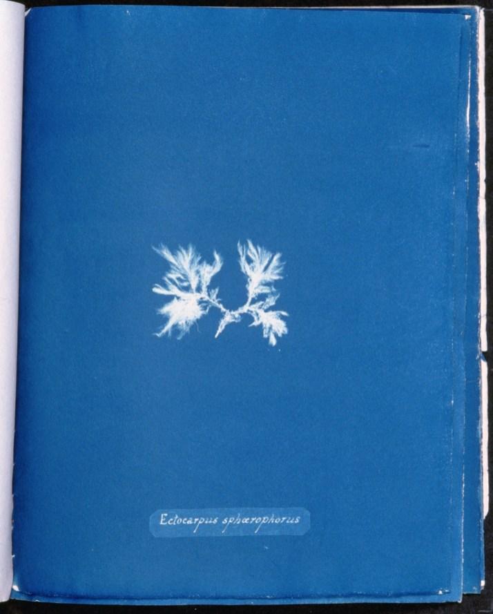 cyanotype-anna-atkins-algue-a23