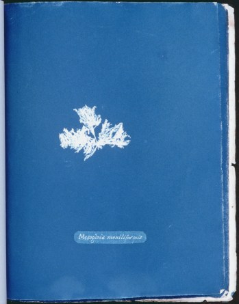 cyanotype-anna-atkins-algue-a24