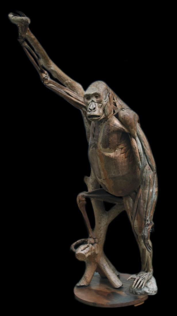 modele-anatomique-docteur-Auzoux-1820-21