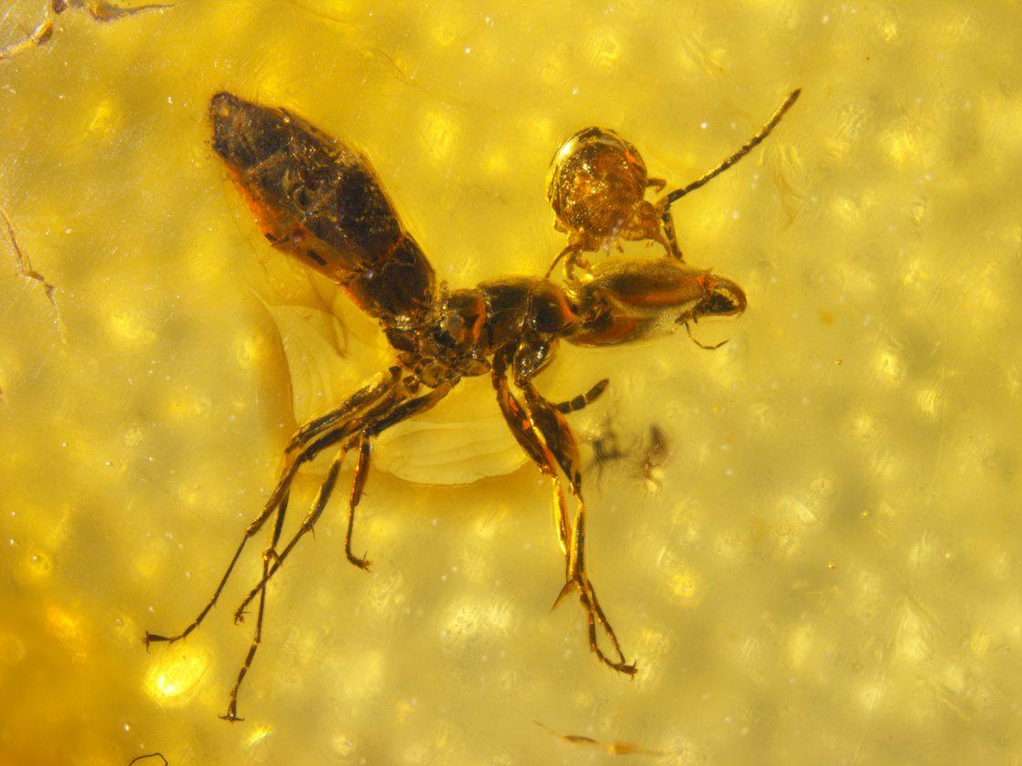 Un acarien parasite qui attaque la tête d'une fourmi - 45 millions - Russie