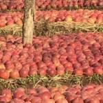 Una mela contro la calvizie