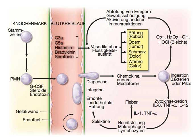 Entwicklung neutrophiler Granulozyten
