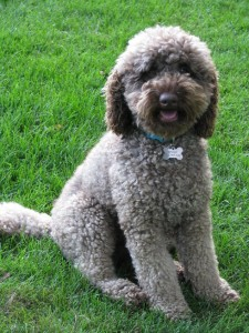 Australian Labradoodle Coat Types Labradoodles Of The North