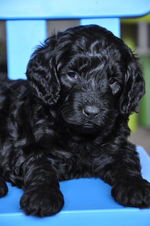 Piper And Odins Litter 2016 Labradoodles Of The North