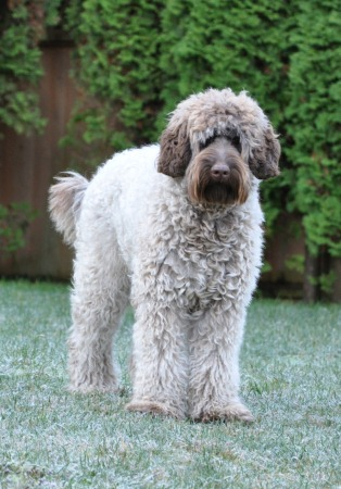 Australian Labradoodle Colors Labradoodles Of The North