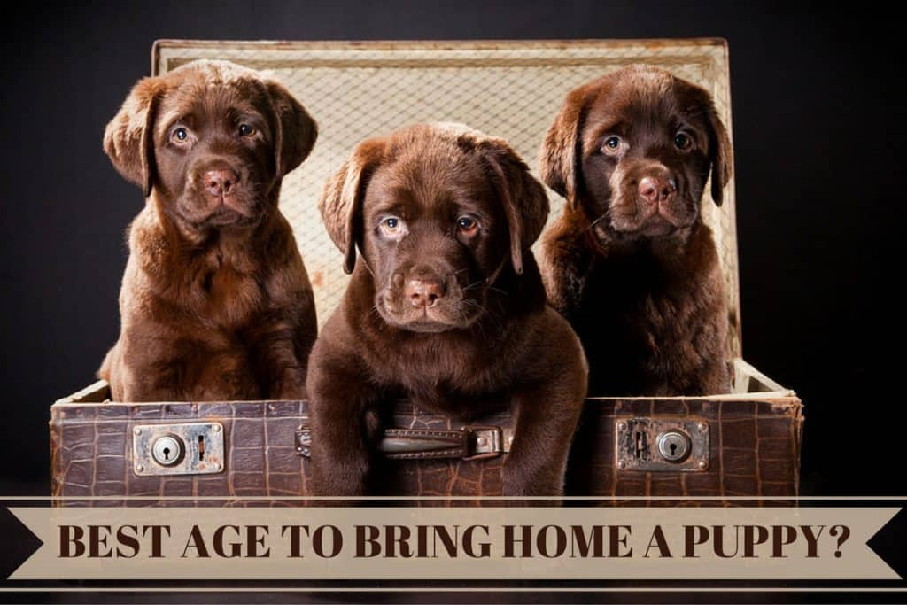 Whats The Best Age To Get Amp When Can You Take A Labrador