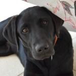 The English Lab Vs American Labrador Retriever Labrottie Com